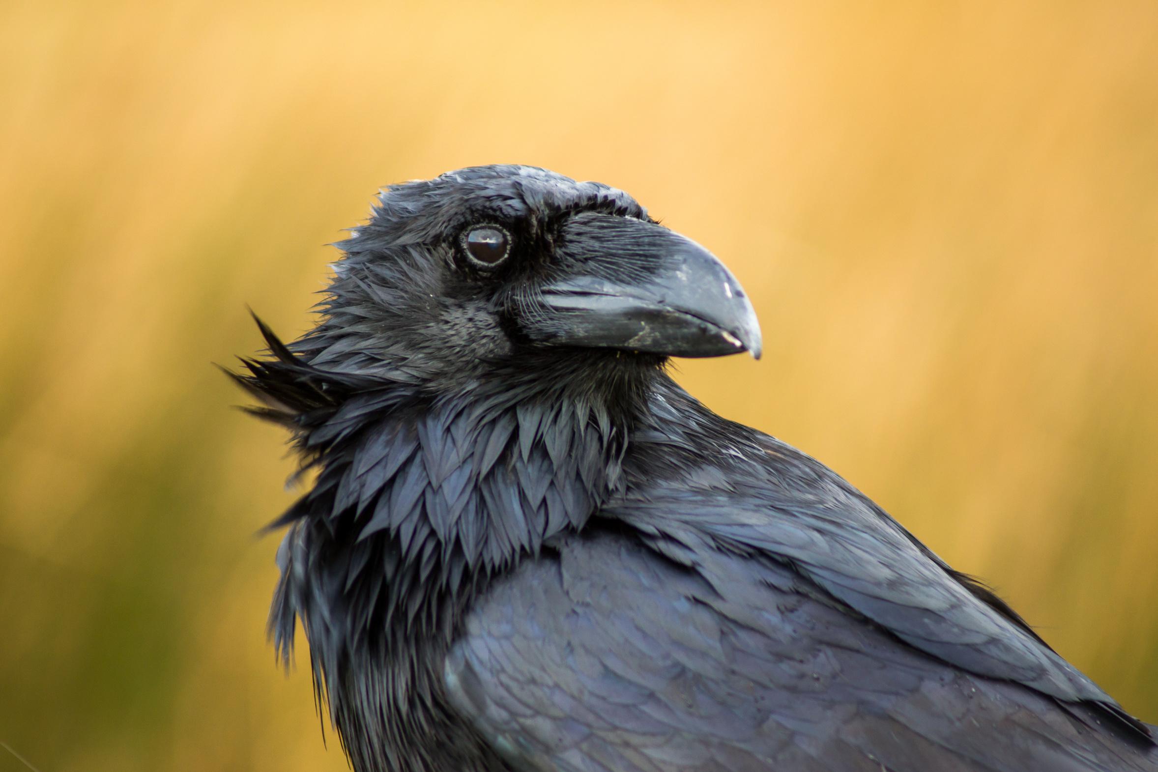 Orange Raven Startrabe